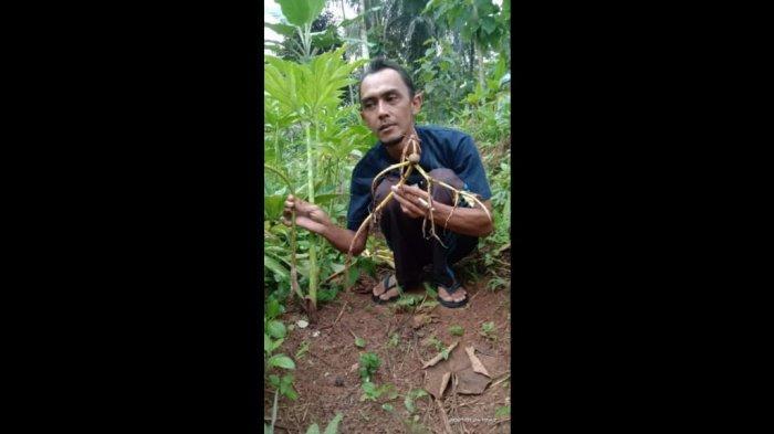 Dilanda Hujan Ekstrem, Kebun Porang di Ciamis Mulai Terjangkit Busuk Batang, Petani Gelisah