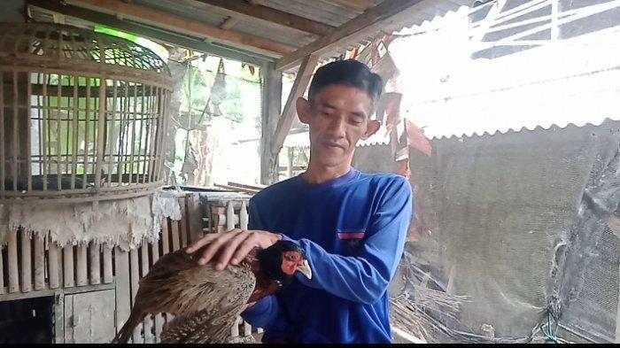 Ini Dia Ayam di Pangandaran yang Bisa Deteksi Gempa, Bersuara Keras 1 Menit Sebelum Lindu, Harganya?