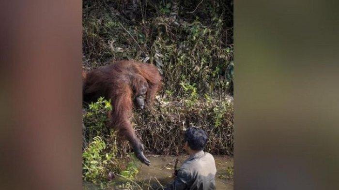 Viral Momen Langka Orangutan Ulurkan Tangan 'Ingin Tolong' Orang di Kolam Penuh Ular