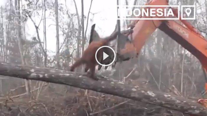 Rekaman Memilukan Saat Orangutan Halangi Buldoser yang Hancurkan Habitatnya