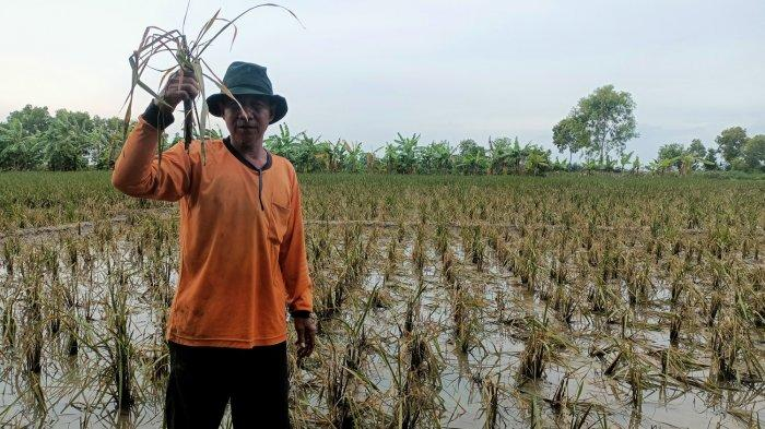 Sawah di Indramayu yang Puso Akibat Banjir Semakin Meluas, Ada 5.112 Hektare, Petani Butuh Bantuan