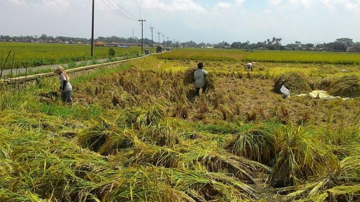 Kemarau Panjang, Tak Ada Sawah yang Alami Puso di Kabupaten Bandung