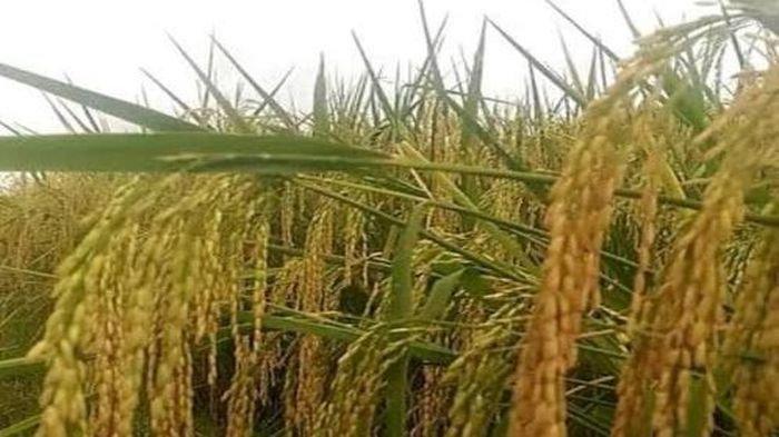 Petani Purwakarta Tolak Impor Beras, Baru Wacana Saja Harga Gabah  Petani Sudah Nyungsep