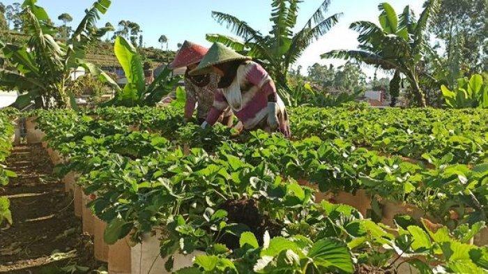 Tak Ada Wisatawan ke Ciwidey Membuat Petani Stroberi Mengakali Hasil Panennya dengan Cara Ini