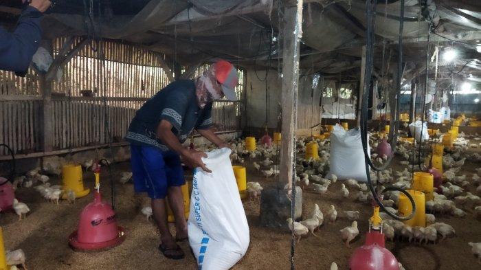 Peternak Ayam Rugi, Harga Ayam Pejantan Lumpuh di Angka Rp 16.000/kg, Ini Penyebabnya
