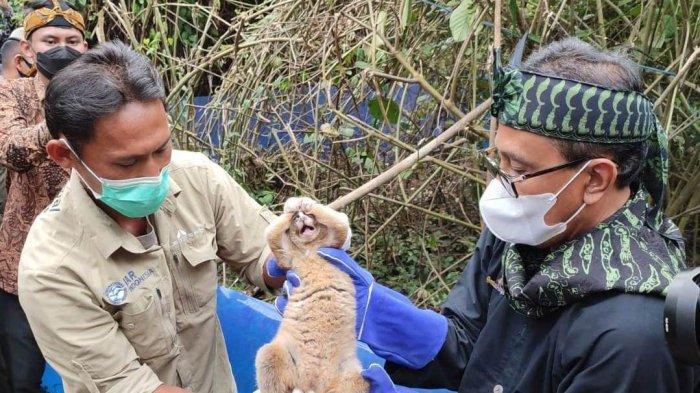 Boni dan Kawan-kawan Kini Menghirup Udara Bebas, 12 Ekor Kukang Dilepasliarkan di Panjalu Ciamis