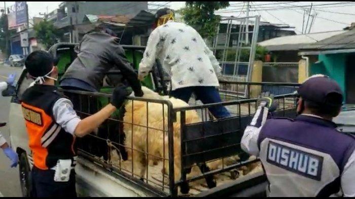 Penumpang pikap rela duduk bersama beberapa ekor domba dari Cianjur menuju Garut. Dishub Cimahi mendapati pemudik tersebut di lokasi cek poin Padasuka, Kota Cimahi (28/4/2020).