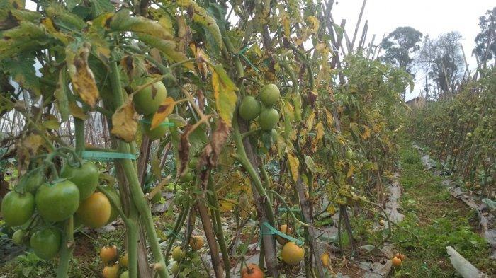 Sempat Turun hingga Sentuh Angka Rp 800 per Kg, Harga Jual Tomat di KBB Mulai Kembali Naik