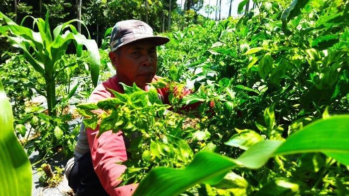 Harga Cabai Rawit di Tingkat Petani di Sumedang Tembus Rp 110 Ribu, Mereka Untung Besar