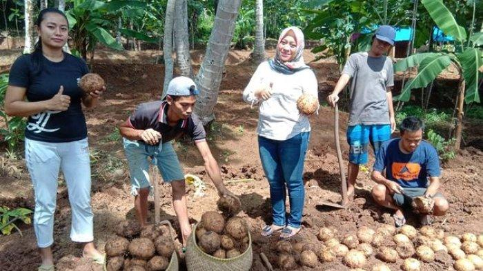 Harga Umbi Porang Anjlok, Petani Ciamis Tunda Panen dan Jual Katak buat Benih Hasilnya Mencukupi