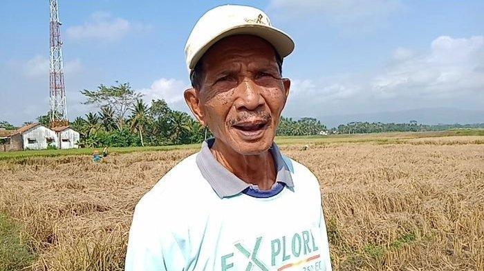Petani Menjerit, Sudah Gagal Panen Harga Gabah Padi di Pangandaran Merosot, Belum Lagi Serangan Hama