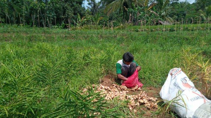 Petani Jahe di Langkaplancar Pangandaran, Panen Lebih Awal daripada Busuk akibat Cuaca Ekstrem