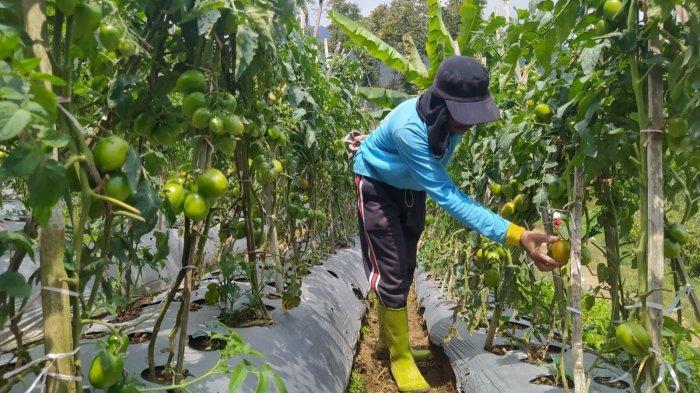 Harga Tomat Naik Drastis, Petani Lembang Sampai Rela Ronda di Kebun