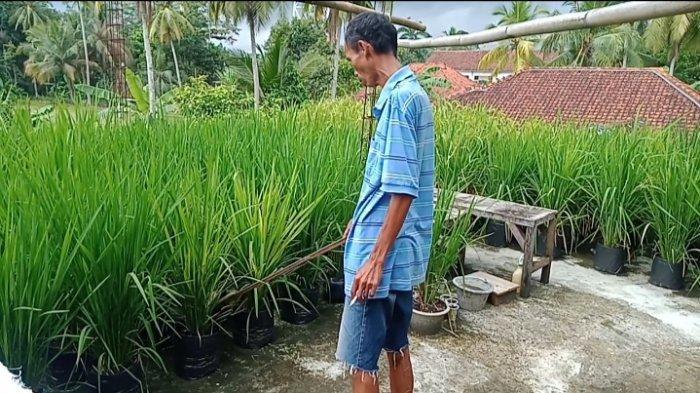 Atap Rumah Disulap Jadi Sawah, Lahan Terendam Banjir, Petani Ini Pilih Tanam Padi di Rumah