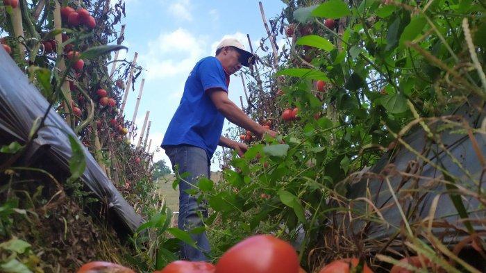 petani sayuran di Kampung Cibodas, Desa Suntenjaya, Kecamatan Lembang, Kabupaten Bandung Barat harga sayuran di pasaran anjlok bahkan terbilang murah dalam beberapa bulan terakhir ini.