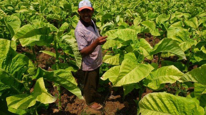 Dana Bagi Hasil Cukai Hasil Tembakau Bantu Sejahterakan Petani, Berikan Pelatihan Wira Usaha