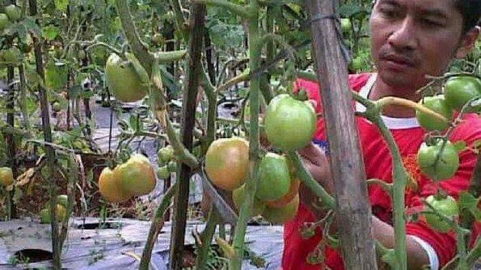 Selama 2 Tahun Terakhir Baru Sekarang Harga Tomat di Ciamis Rp 20.000/kg, Ini Penyebabnya