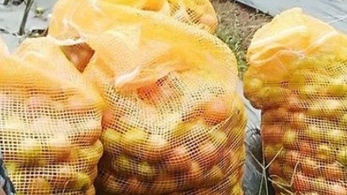 Tomat hasil panen di kawasan agropolitan sentra sayur mayur Sukamantri, Ciamis, Jumat (30/7/2021).