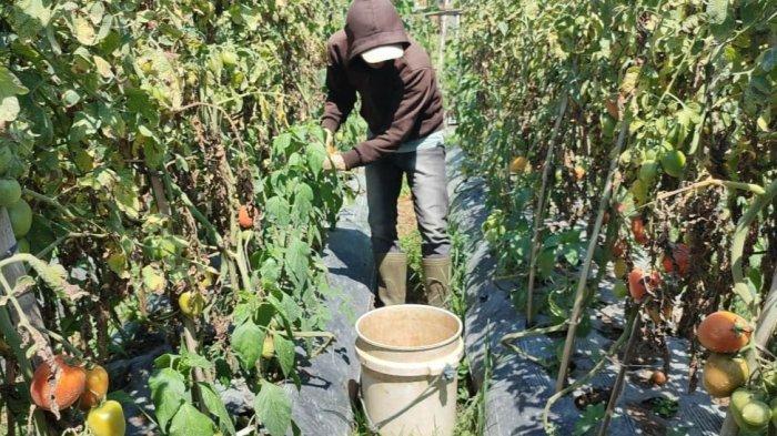 Harga Tomat Mahal, Tapi Petani di Lembang Justru Sedih, Ini Alasannya