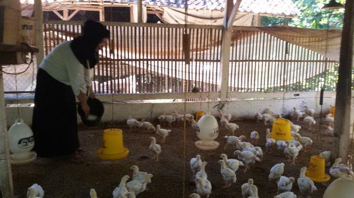 Seiring PPKM Level 3 Diberlakukan, Harga Ayam Pejantan di Sentra Ayam Ciamis Mulai Bergerak Naik