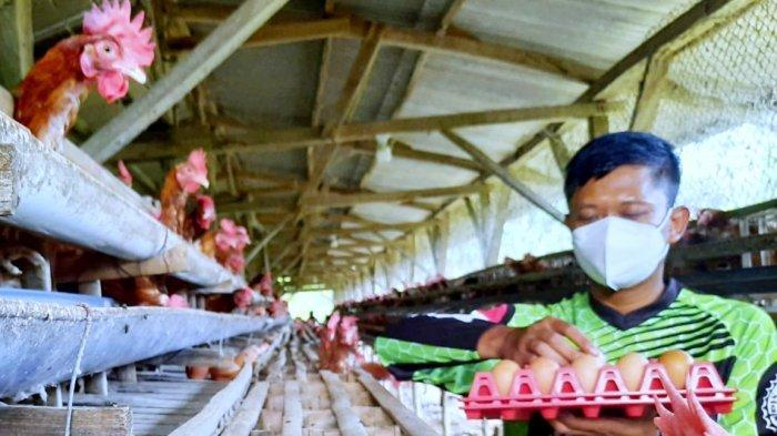 Peternak Ayam Petelur Purwakarta Terancam Gulung Tikar, Harga Telur Anjlok, Ayam Terancam Dilelang