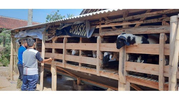 Iduladha 5 Hari Lagi, Peternak Domba di Purwakarta Kebanjiran Pesanan