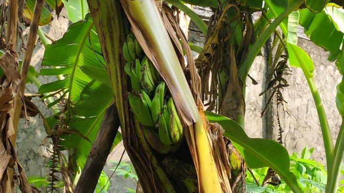Ada Cerita Mistis Seiring Buah Pisang Muncul dari Dalam Batang Pohon di Majalengka