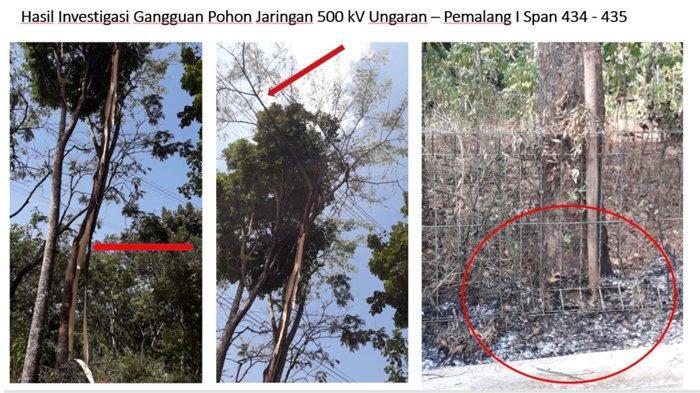 Pohon Sengon Diduga Kuat Penyebab Mati Listrik di Jabar-Banten-Jakarta, Lihat Fotonya
