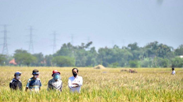 Petani di Indramayu Pamerkan Hasil Panen Raya saat Dikunjungi Jokowi, Minta Bantuan Langsung Di-ACC