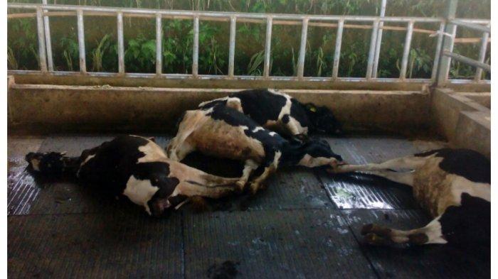 Puluhan Sapi di Cianjur Mati karena Racun Dosis Tinggi, Petugas Masih Selidiki Kasusnya