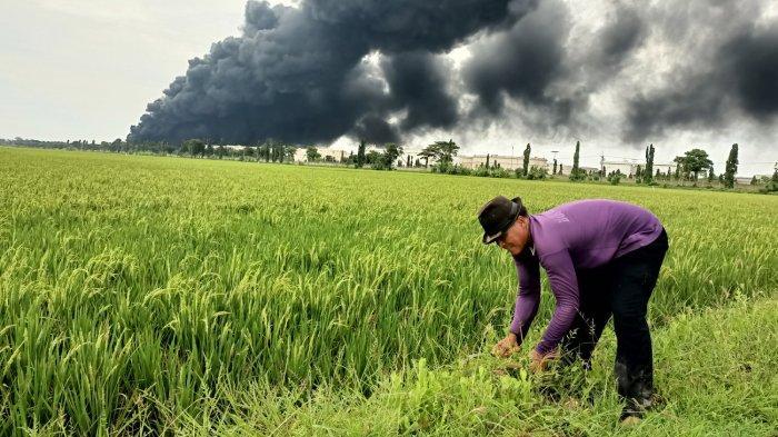 Rasdinah (40), saat mengarit di areal persawahan di seberang PT Pertamina RU VI Balongan, Selasa (30/3/2021). Terlihat asap hitam masih membubung tinggi.