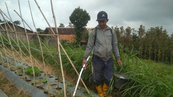Salah seorang petani, Asep sedang menyiram sayuran di perkebunan miliknya yang berlokasi Desa Jambudipa, Kecamatan Cisarua, Kabupaten Bandung Barat, Senin (15/2/2021).