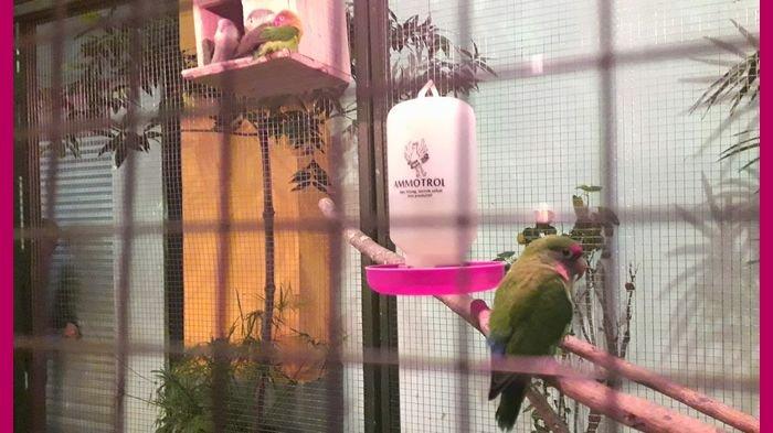 Kicau Mania Ini Tips Dan Trik Melatih Burung Agar Selalu Unggul Dalam Kontes Berkicau Tribun Jabar