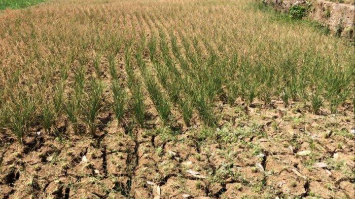 893 Hektare Lahan Pertanian di Kabupaten Bandung Rusak Akibat Kekeringan