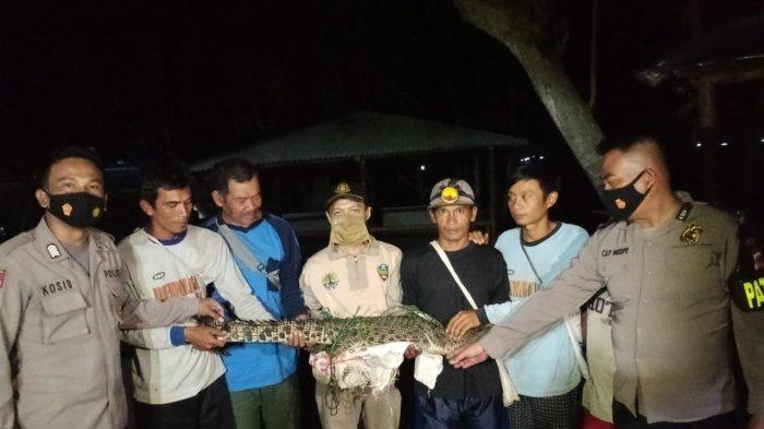 Sempat Dikira Biawak, Seekor Buaya Besar Berhasil Ditangkap Nelayan dengan Jaring dan Tali