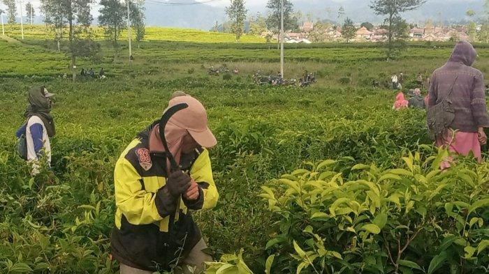 Setelah Diprovokasi Pria 65 Tahun, Satu Pria dan Satu Wanita Pimpin Dua Kelompok Rusak Kebun Teh