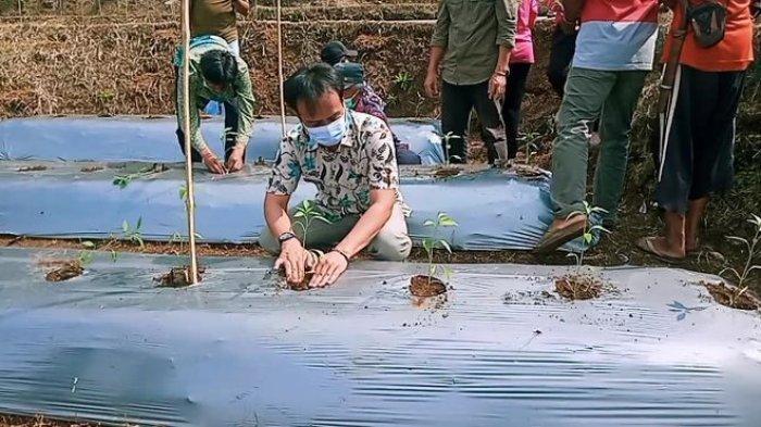 Musim Kemarau, Petani di Pangandaran Tanam Cabai di Lahan Sawah Kering