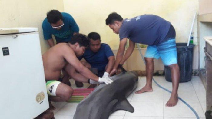 Lumba-lumba Peliharaan Hotel di Lovina Bali Mati, BKSDA Selidiki Kemungkinan Kelalaian