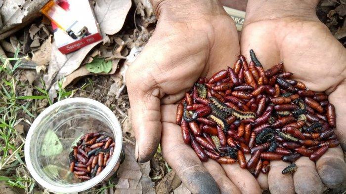 Ribuan Ulat Pohon Jati Teror Pengguna Jalan di Desa Pilangsari Indramayu, Bisa Nempel di Baju