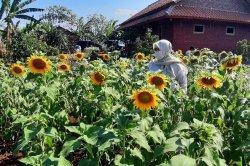 Tanaman bunga matahari di Bendungan Sadawarna