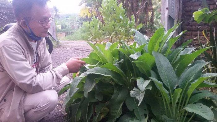 Ini Dia Komprei, Tanaman Herbal yang Punya Segudang Manfaat, Tapi Awas Jangan Sampai Salah Pemakaian