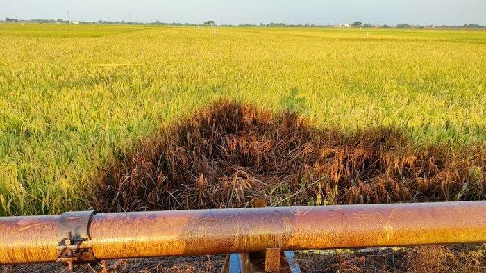 Padi Milik Petani di Indramayu Mati Menghitam, Tersiram Crude Oil Dari Pipa Pertamina yang Bocor