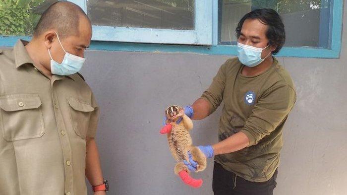Tiga Kukang dari Ciamis Dikirim ke Pusat Rehabilitasi Bogor, Dua Satwa Dilindungi Ini Terluka