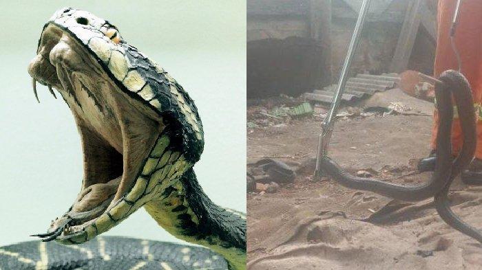 Deretan Teror Ular Kobra di Jawa Barat, dari Ciamis, Tasik, hingga Bogor, Puluhan Ular Ditemukan