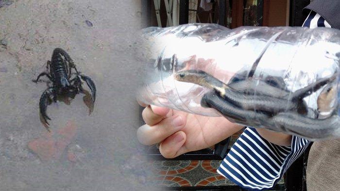 Teror Ular Kobra hingga Kalajengking Bikin Geger Warga Tasikmalaya, Lihat Foto-fotonya