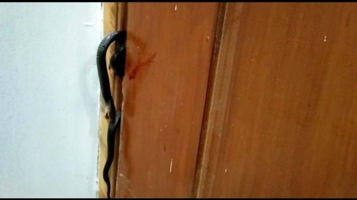 Teror Ular Kobra Landa Sukabumi, 4 Hari Warga Perumahan Shifa Residence Tangkap Ular Kobra