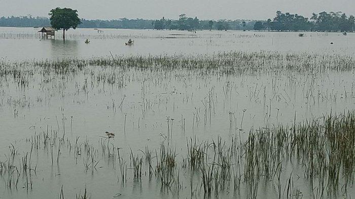 Petani Menjerit, Akibat Banjir Subang, 2.000 Hektare Sawah Gagal Panen, Kerugian Capai Rp 6 Miliar