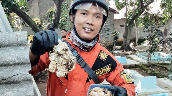 Warga Bogor Ketakutan, Puluhan Telor Kobra Menetas, Berkeliaran ke Rumah Warga, Datang dari Kuburan