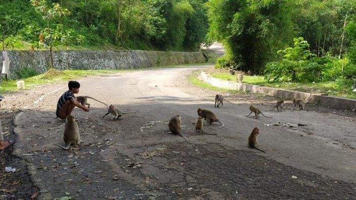 Mengintip Kera Penghuni Bukit Perbatasan Cianjur-Bandung, Rajanya Bernama Udin