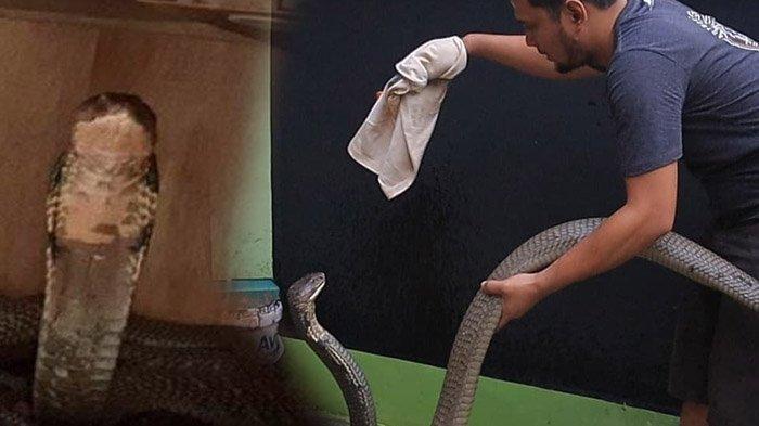 Kronologi Ular King Kobra Garaga Sampai Menggigit Panji Petualang, Begini Nasib Panji Sekarang